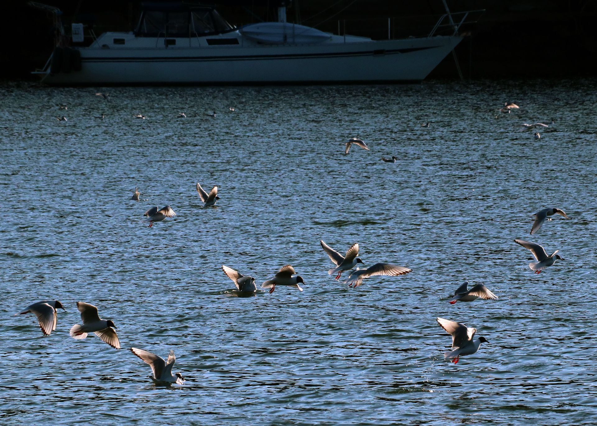 A flock of gulls in various states of diving into the water.
