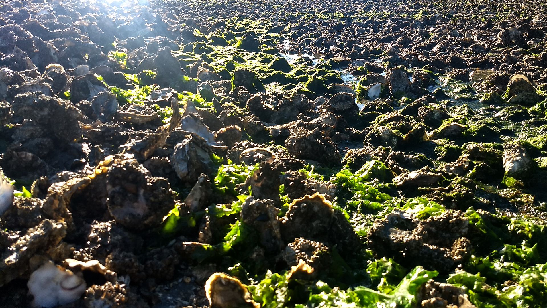 An oyster bed brightly illuminated by sunlight.