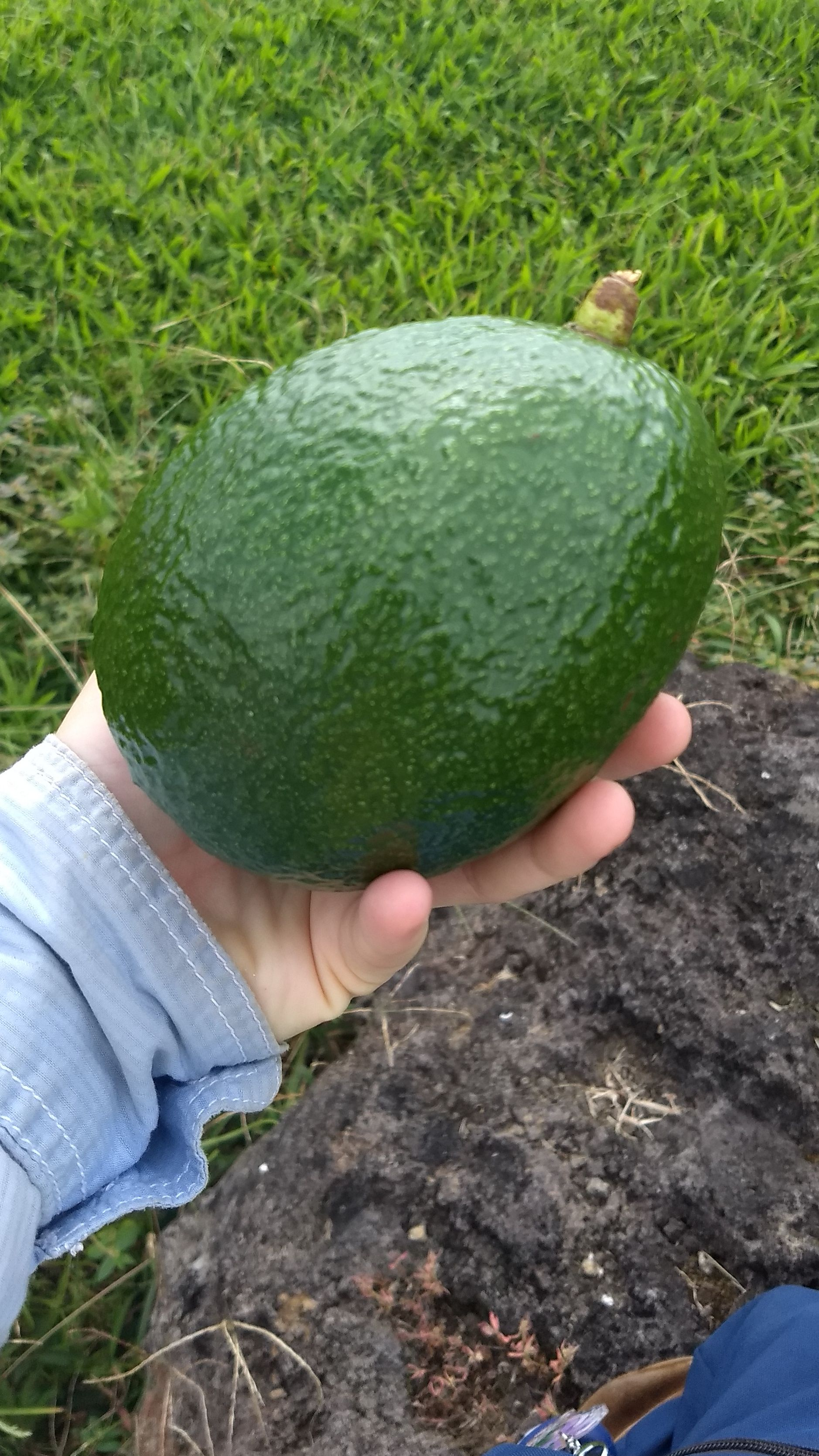 A hand holding a very large avocado.