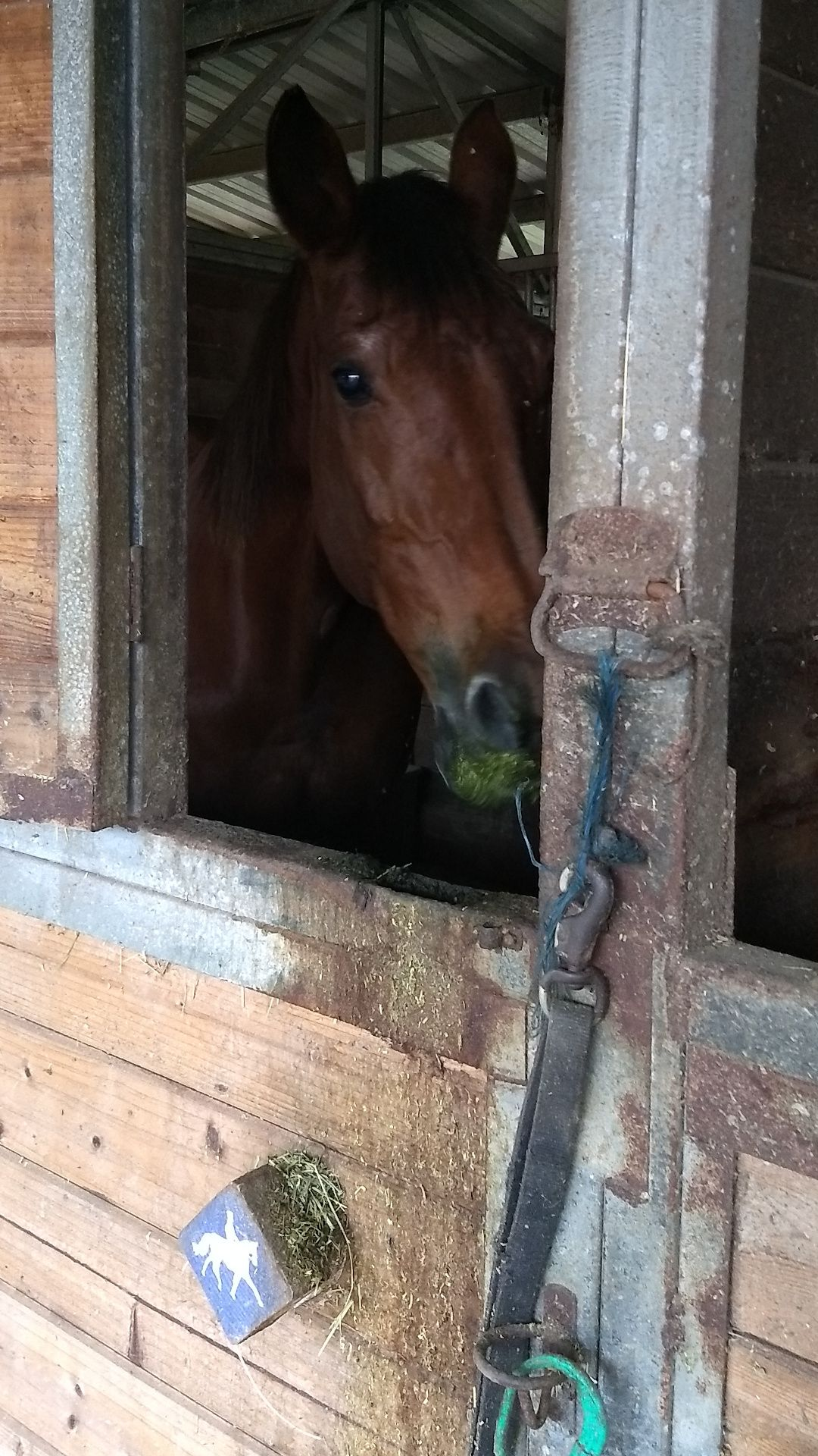 A brown horse inside a stall. The outside of her stall has streaks of alfalfa running down it.