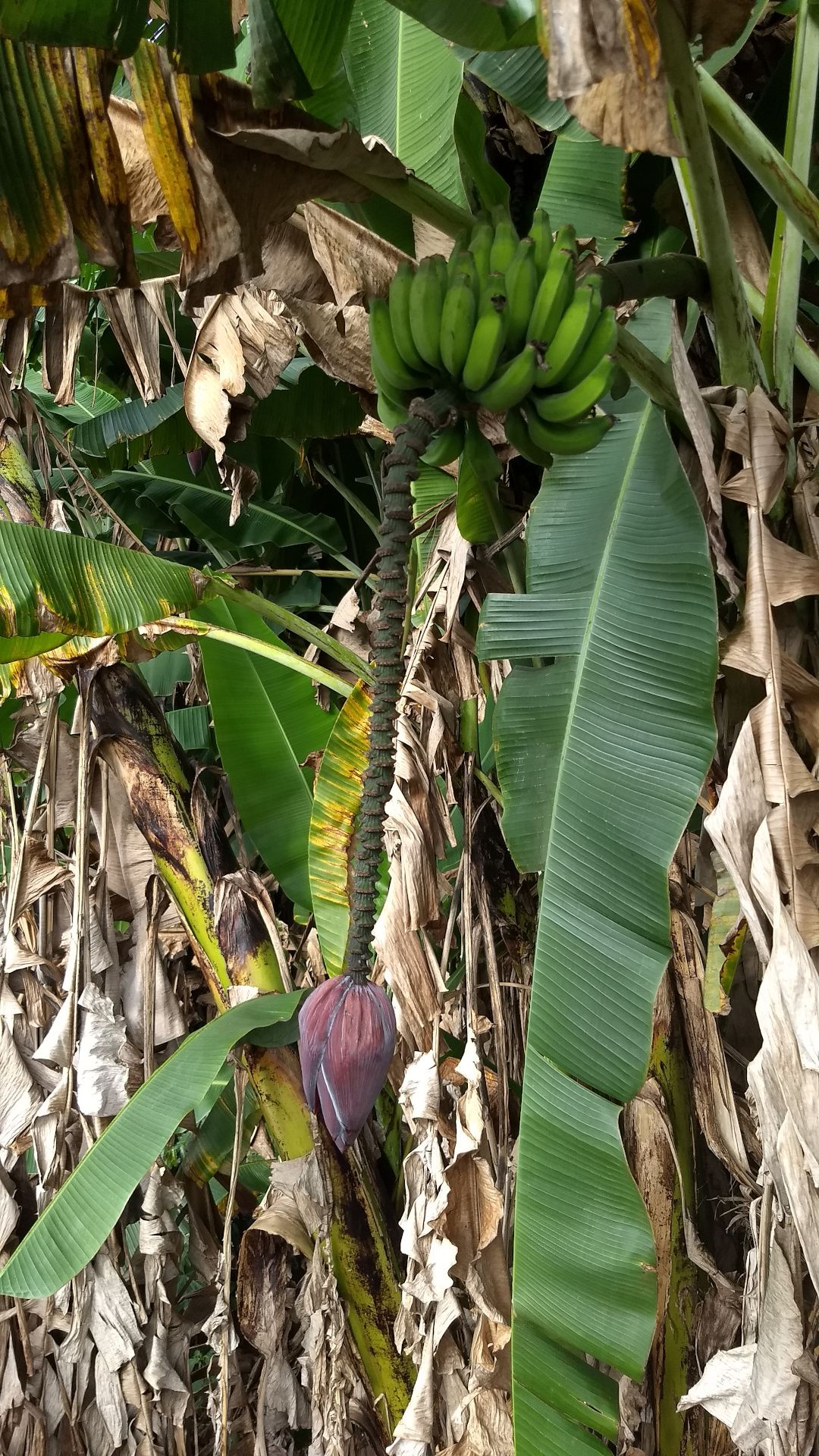 A bunch of bananas on a tree, with a large hanging pod below them. A small gecko is on the stalk of the pod.