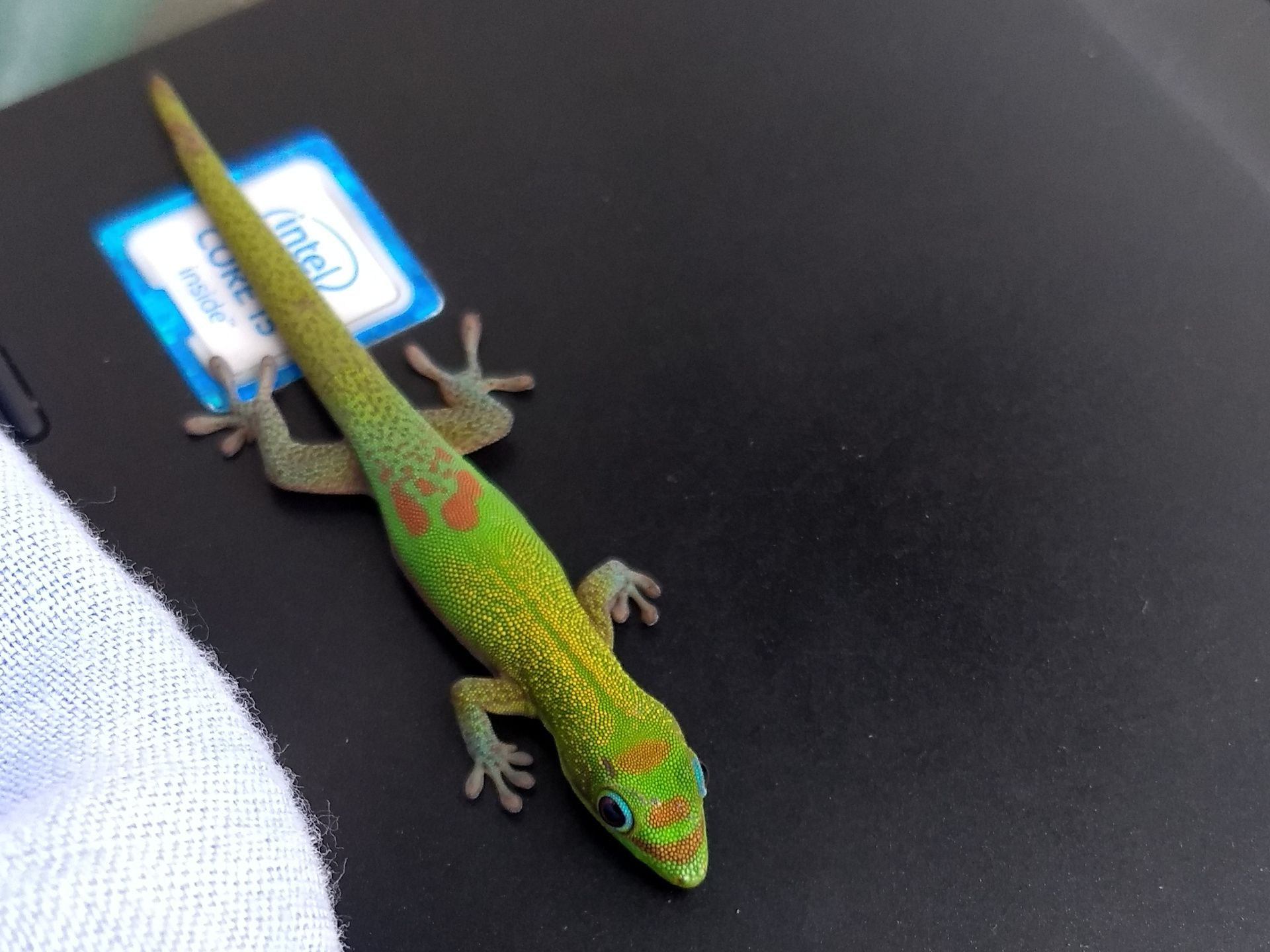 "The same little gecko lying on top of an ""intel inside"" sticker."